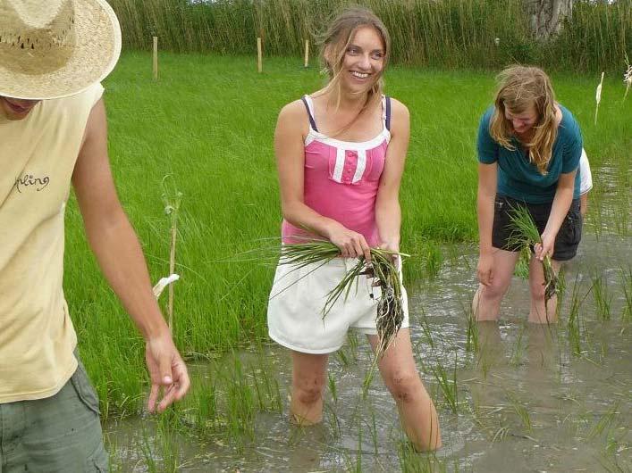 Plantant arròs