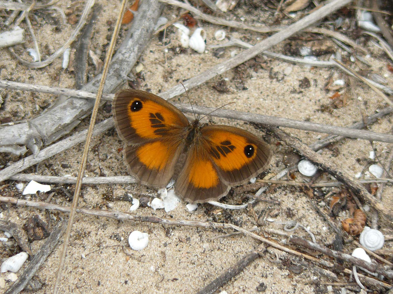papallona devesa albufera