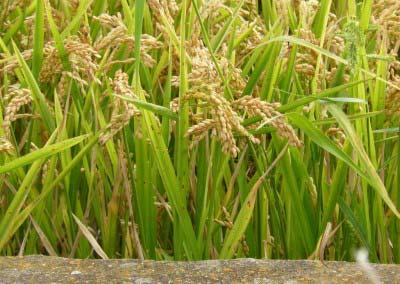El paisaje y el ciclo del arroz